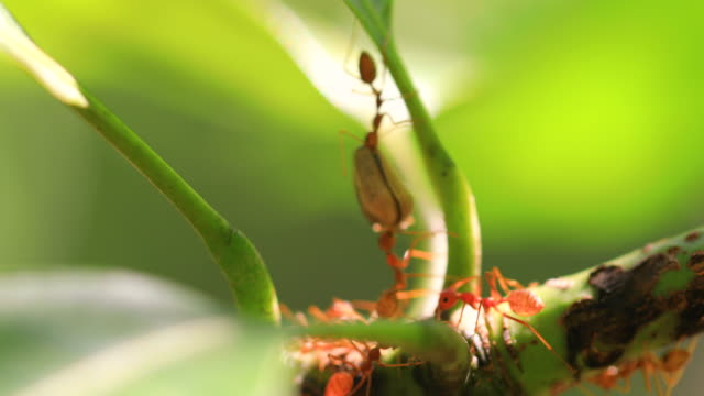 fire ant on branch in nature green background. - ant stock videos & royalty-free footage