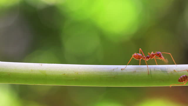 fire ant on branch in nature green background. - symbiotic relationship stock videos & royalty-free footage