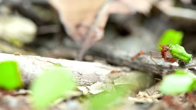 Feuer Ameisen tragen grüne Blätter für die Nest