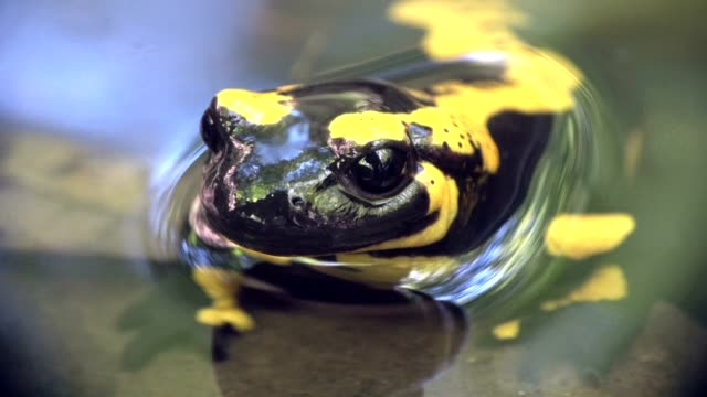 fire salamander in the life birth of the young in the water, spring - salamander stock videos and b-roll footage