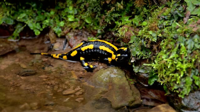 fire salamander salamandra salamandra, bavaria, germany - salamander stock videos and b-roll footage