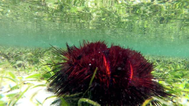 fire urchin in indian ocean - sea urchin stock videos & royalty-free footage