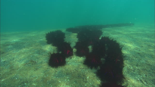 fire urchins, travel over field of urchins, transition to sea bed, travel. indonesia  - ricci di mare video stock e b–roll