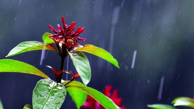 firebush flower during heavy rain - tropical flower stock videos & royalty-free footage