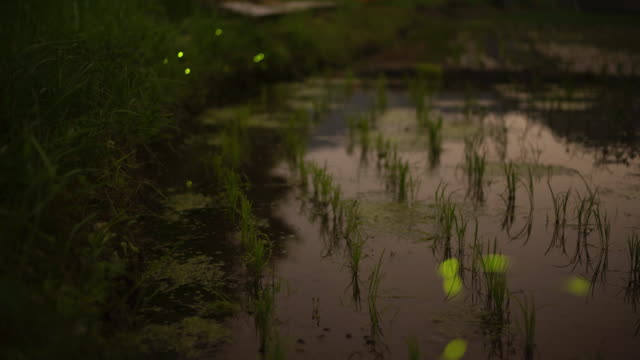 fireflies flying about over a rice paddy - large group of animals stock videos and b-roll footage