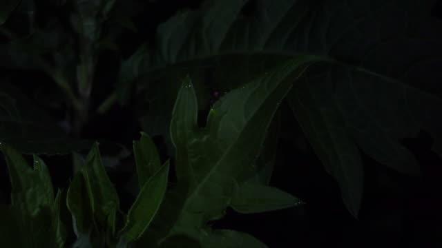 vídeos de stock e filmes b-roll de fireflies  park in nagano - japan - pirilampo escaravelho