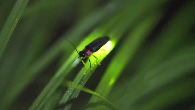 vídeos de stock e filmes b-roll de firefly flashing gently - pirilampo escaravelho