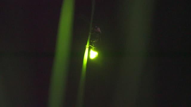 firefly flashing gently - グローワーム点の映像素材/bロール