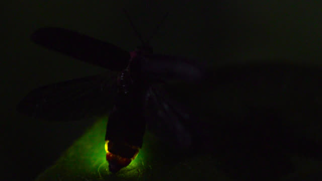 firefly glows on leaf, japan. - takashima shiga stock videos & royalty-free footage