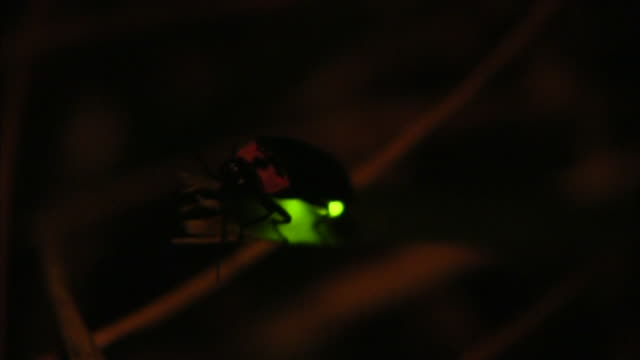Firefly In The Night