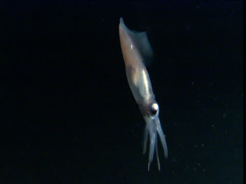 vídeos de stock, filmes e b-roll de firefly squid swims up through ocean, japan - calamar
