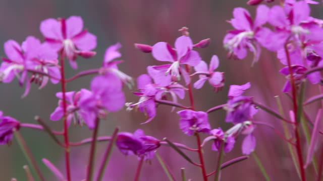 fireweed, chugach national forest, alaska. - chugach national forest stock videos & royalty-free footage
