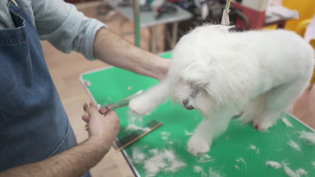 first class care for the maltese snowball - working animal stock videos & royalty-free footage