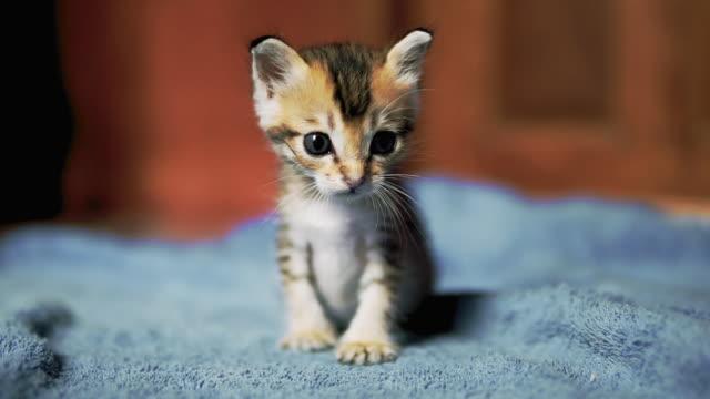 first steps of cute newborn orphaned kitten - weakness stock videos & royalty-free footage