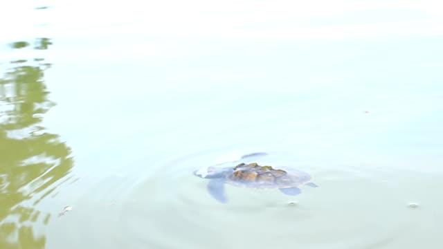primi passi di tartarughina in mare - portello video stock e b–roll