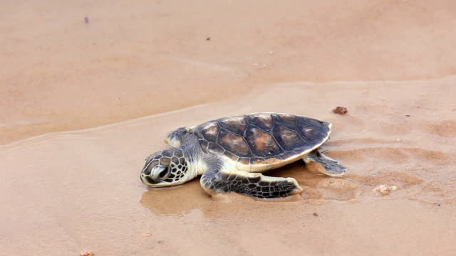 First steps of little turtle on the beach