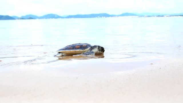 vídeos y material grabado en eventos de stock de primeros pasos de poco turtle, renunciar al mar - dermoquélidos