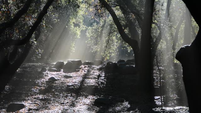 vídeos y material grabado en eventos de stock de first sun rays through the trees after a long rain in a oak forest - árbol de hoja caduca