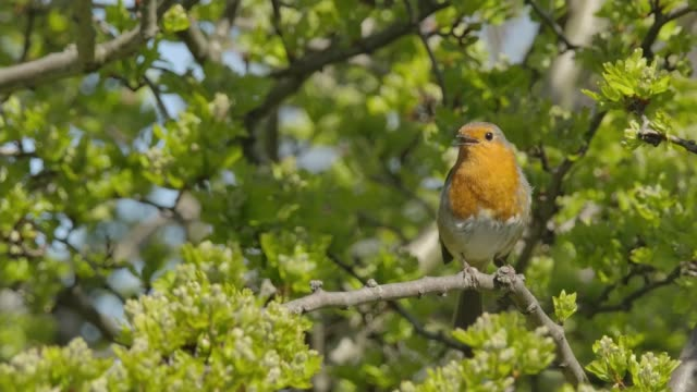 first sunday of may marks international dawn chorus day; england: int beccy speight interview via internet sot richmond park: various shots of birds... - robin day stock videos & royalty-free footage