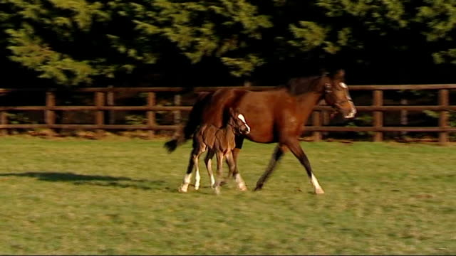 first uk foal of champion racehorse frankel suffolk newmarket the national stud reporter to camera various shots of twodayold female foal running... - newmarket suffolk england stock videos and b-roll footage