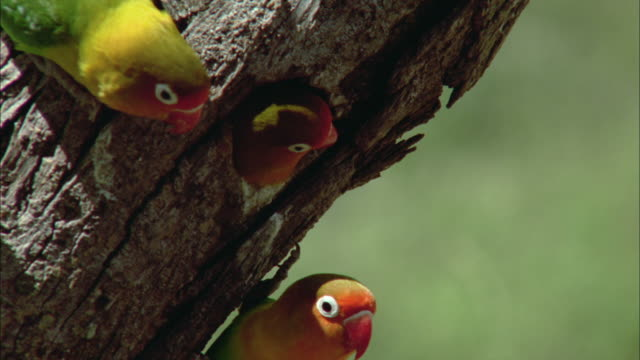 stockvideo's en b-roll-footage met cu, zo, fischer's lovebirds (agapornis fischeri) on tree trunk, serengeti national park, tanzania - drie dieren