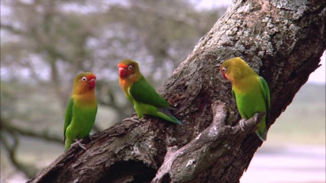 vídeos de stock e filmes b-roll de fischer's lovebirds perch on a tree trunk. - pássaro