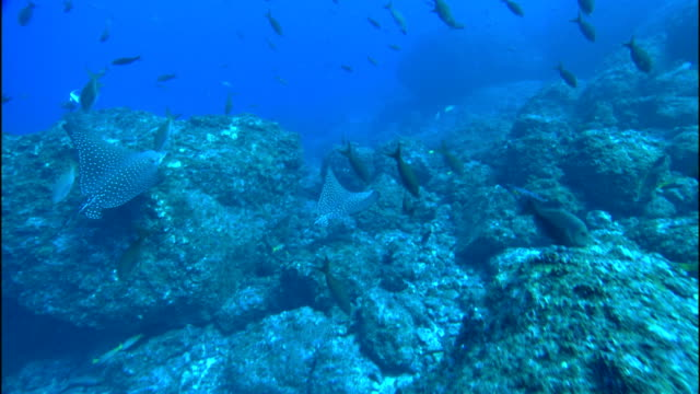 fish and manta rays swim over corals. - manta ray stock videos & royalty-free footage