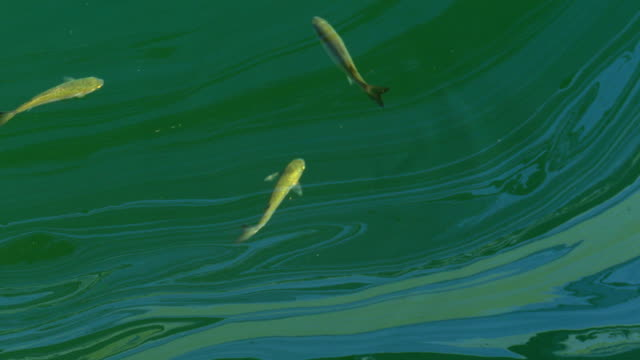 fish and oil slicks on the water - stained stock videos & royalty-free footage