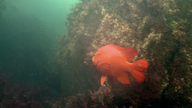fish and sea life swim around kelp forest - aquatic organism stock videos & royalty-free footage