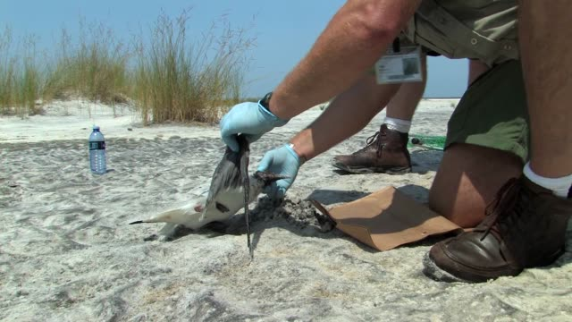 vidéos et rushes de fish and wildlife team searching for oiled wildlife / oil boom and oiled debris on beach / team collecting dead laughing gull and checking for signs... - marée noire