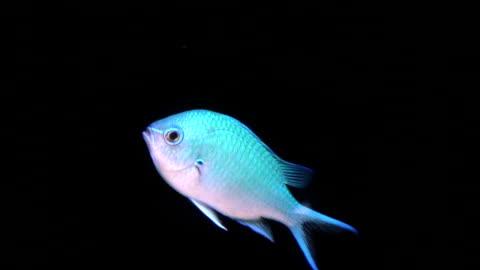 fish, blue green chromis damselfish, hd - damselfish stock videos & royalty-free footage