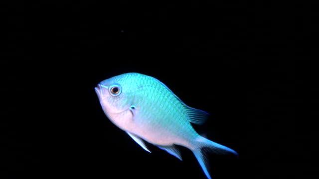 Fish, Blue Green Chromis Damselfish, HD