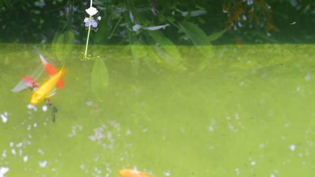 fish carp koi swimming in clear water with aquatic plant in outdoors pond - aquatic plant stock videos & royalty-free footage