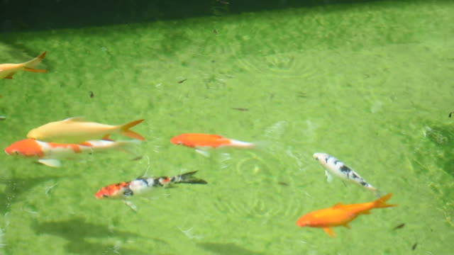 fish carp koi swimming in clear water with aquatic plant in outdoors pond - koi carp stock videos & royalty-free footage