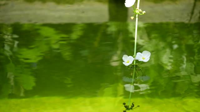 vídeos y material grabado en eventos de stock de carpa de peces koi nadando en aguas cristalinas con planta acuática en estanque al aire libre - water plant