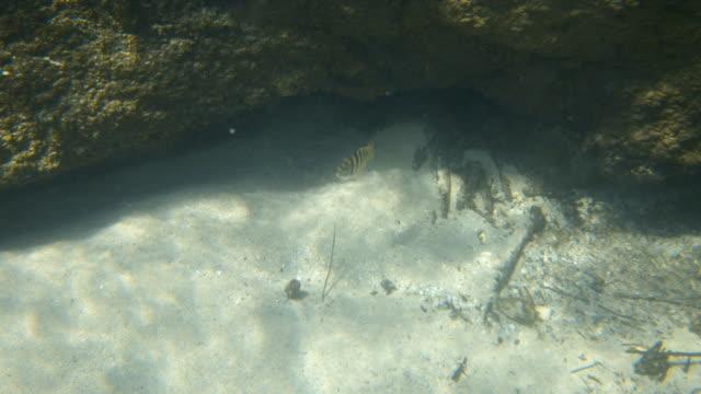 vídeos de stock e filmes b-roll de a fish coming out under a rock formation - sargaço