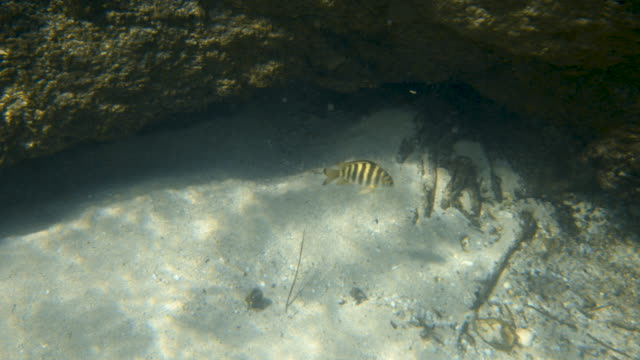 vídeos de stock e filmes b-roll de a fish crosses a mangrove root - sargaço