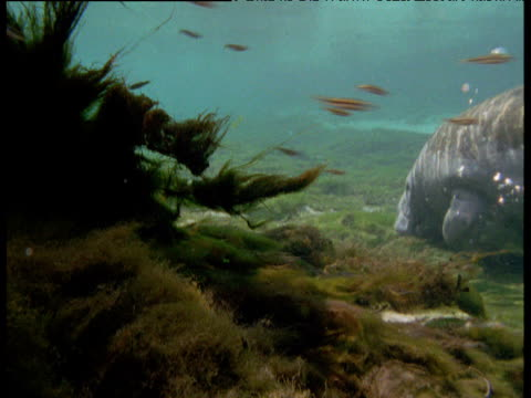 Fish dart past as manatee grazes on eel grass in lagoon, Florida
