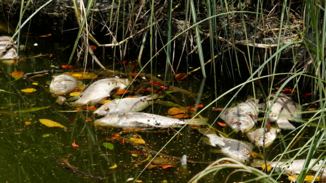 fish dead, impact form discharge of toxic substances from factories in the river, - river stock videos & royalty-free footage