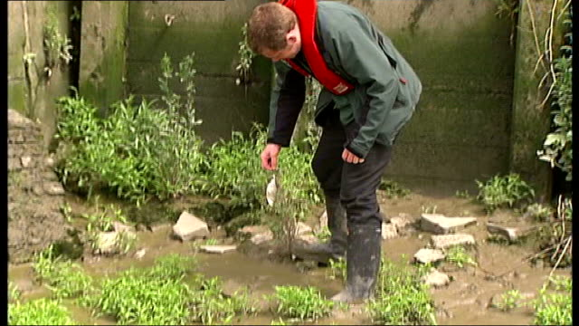 fish die after river thames flooded with sewage england london hammersmith ext dead fish floating on surface of muddy water man from environment... - river thames stock videos and b-roll footage