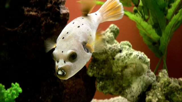 fish, dog face puffer, arothron nigropunctatus, hd - balloonfish stock videos and b-roll footage