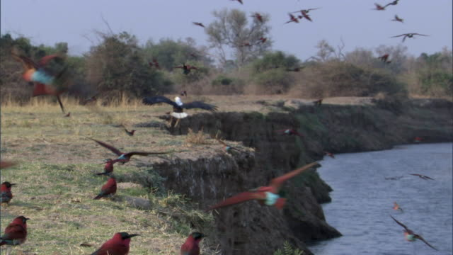 stockvideo's en b-roll-footage met fish eagle (haliaeetus vocifer) and carmine bee eaters (merops nubicoides) on riverbank, luangwa, zambia - african fish eagle