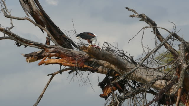 Fish Eagle Feeding