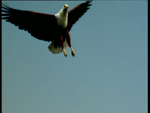 Fish eagle flies towards camera, hovers then turns and flies off