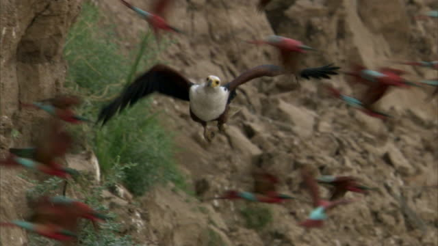 stockvideo's en b-roll-footage met fish eagle (haliaeetus vocifer) hunts carmine bee eaters (merops nubicoides), luangwa, zambia - grote groep dieren