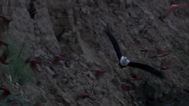stockvideo's en b-roll-footage met fish eagle (haliaeetus vocifer) hunts carmine bee eaters (merops nubicoides), luangwa, zambia - african fish eagle