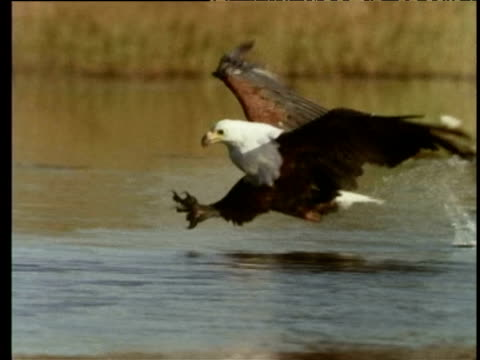 Fish eagle snatches fish from lake with talons, Africa