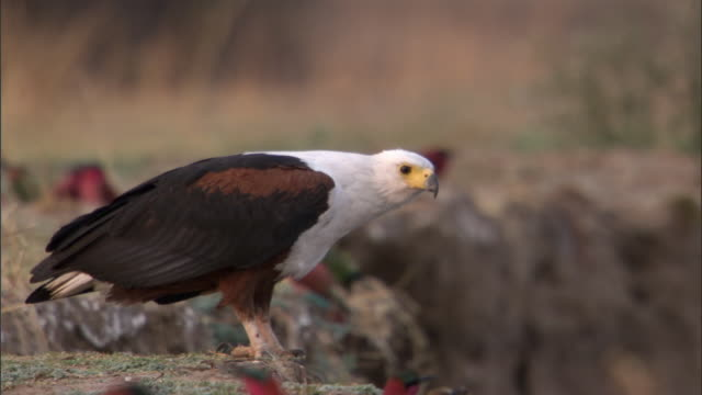 Fish eagle (Haliaeetus vocifer) watches Carmine bee eaters (Merops nubicoides) on riverbank, Luangwa, Zambia