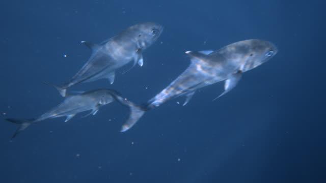 Fish eating bait underwater