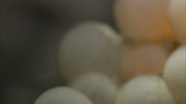 fish eggs are clustered together where an embryo begins to emerge. - auftauchen stock-videos und b-roll-filmmaterial